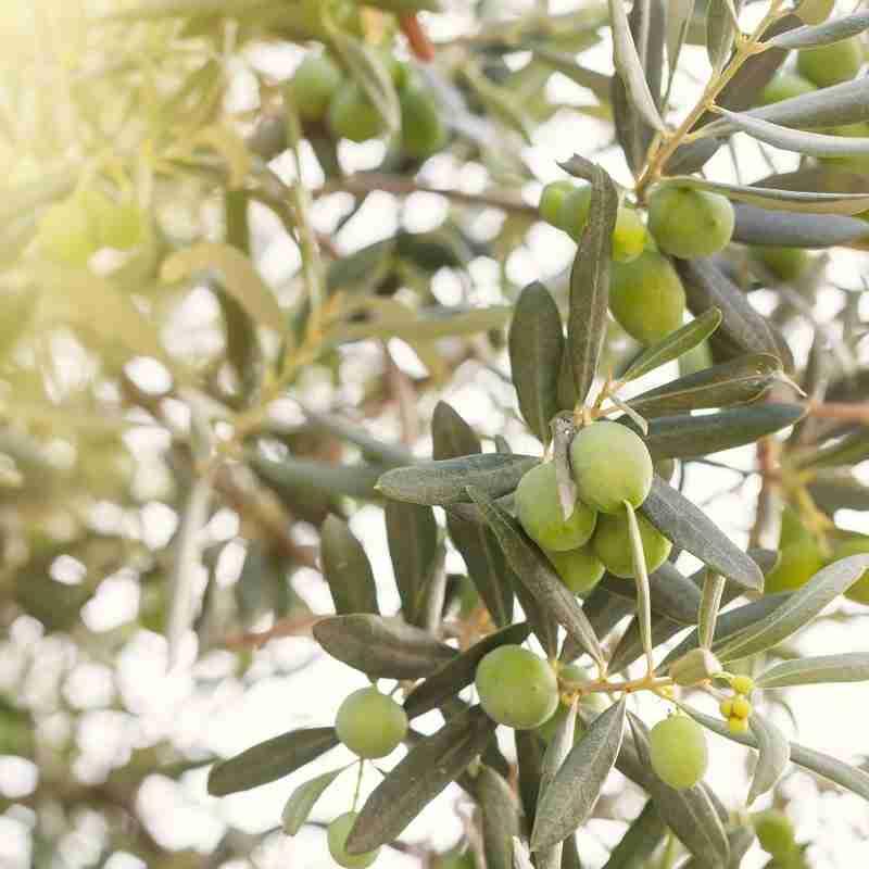 Las aceitunas -olivos